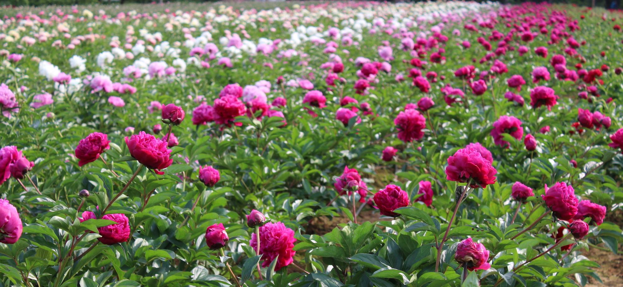Peonie in fiore
